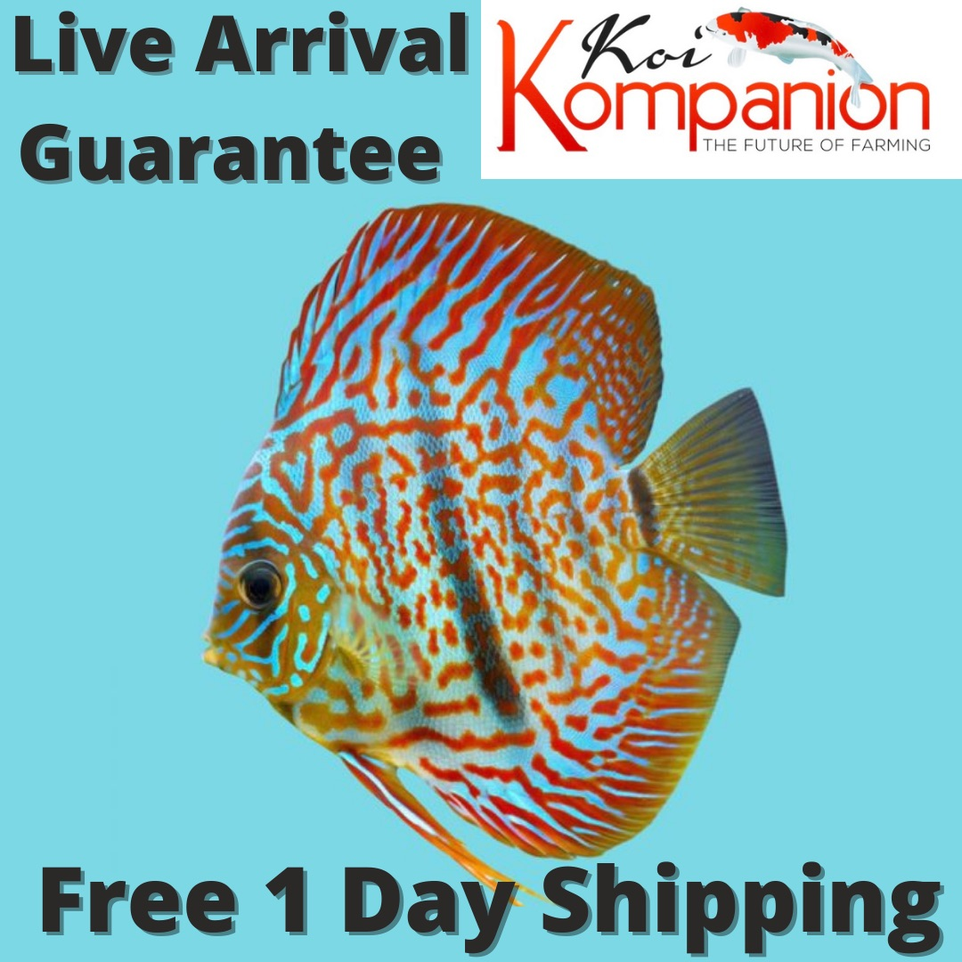Red Turquoise Discus
