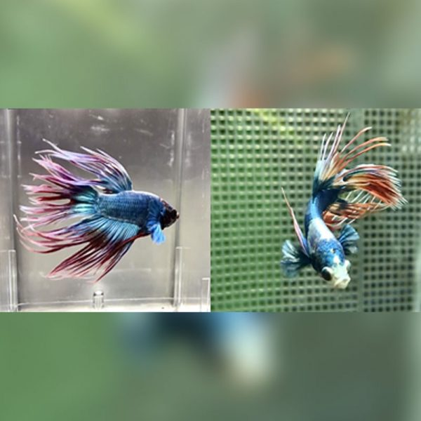 Assorted Crowntail Betta