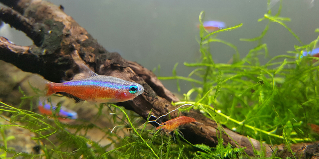 Are cardinal tetras aggressive